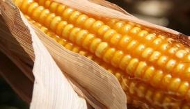 Влажность кукурузы во время сбора