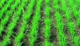 Відновлення вегетації проса прутоподібного навесні