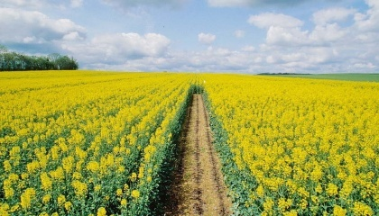 При использовании современных гибридов и соблюдении агротехнических условий выращивания, озимый рапс может быть очень продуктивным, ведь потенциал гибридов достигает 70 ц/га