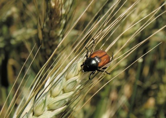 Захист зернових культур від шкідника хлібного жука фото, ілюстрація