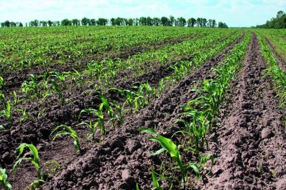 Кожній грунтово-кліматичній зоні свій гібрид кукурудзи фото, ілюстрація