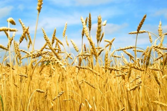 Догляд за посівами пшениці озимої в пізні фази вегетації фото, ілюстрація