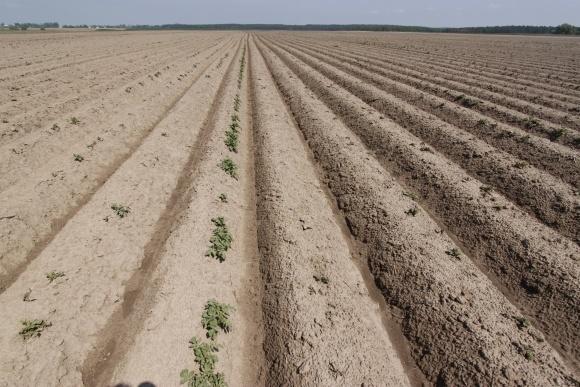 Правильна посадка картоплі фото, ілюстрація