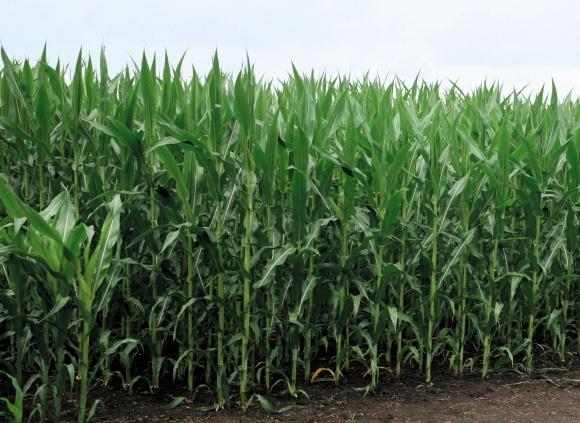Інокулянти для кукурудзи протягом вегетаційного періоду фото, ілюстрація