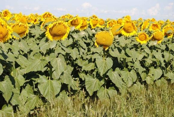 Почвенные гербициды для подсолнечника фото, иллюстрация