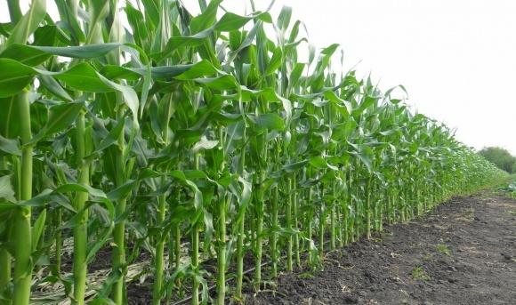 Удобрення кукурудзи: досвід штату з ТОП-3 за валовим збором фото, ілюстрація