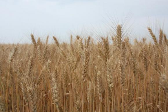 Стратегія вирощування і використання української пшениці в ринкових умовах фото, ілюстрація