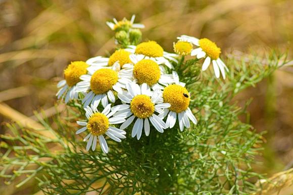 Агротехніка вирощування лікарських рослин фото, ілюстрація