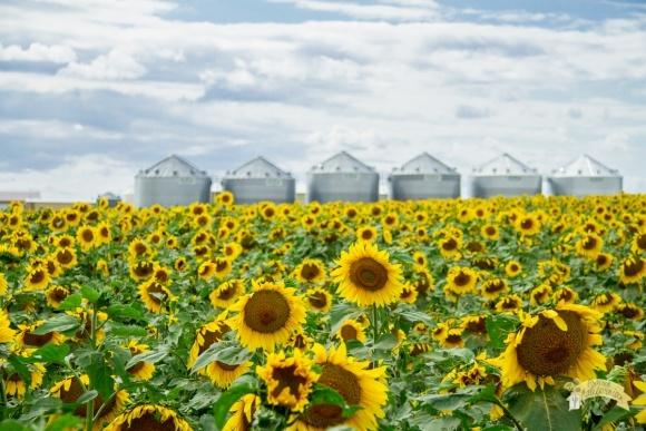 Вирощування соняшника: американський досвід фото, ілюстрація
