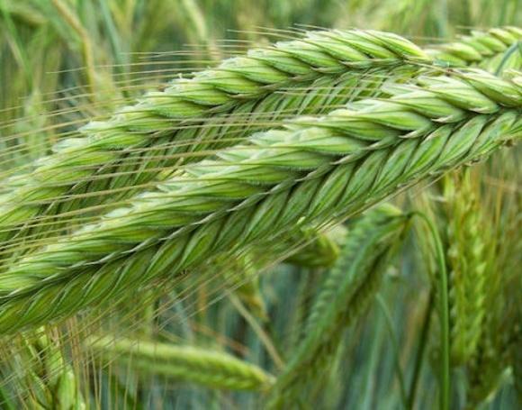 Прогноз сухої та спекотної погоди розігріває пшеничні ринки фото, ілюстрація