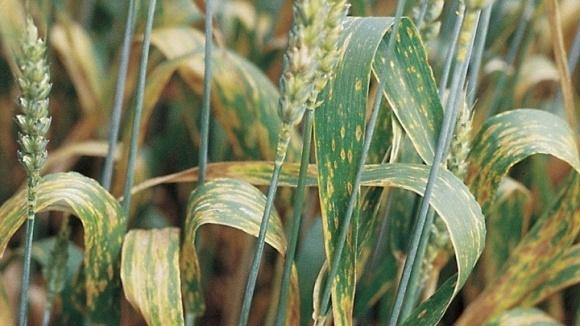 Посіви зернових культур атакують шкідники та хвороби, що негативно впливає на формування майбутнього врожаю зерна фото, ілюстрація