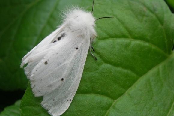 Через американського білого метелика  на Рівненщині  запроваджено карантинний режим фото, ілюстрація