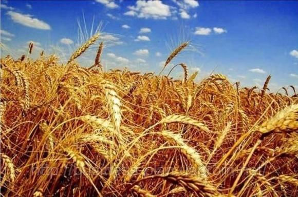 ДПЗКУ укладає договори по закупівлі зерна врожаю-2018 фото, ілюстрація