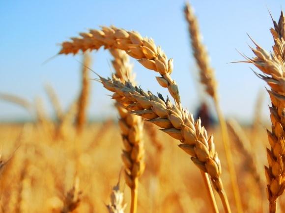 Спекотна погода може сильно знизити світовий урожай зерна фото, ілюстрація
