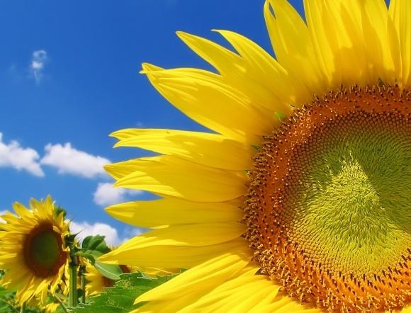 Світове виробництво соняшнику 2018 року зросте до рекордних 50,42 млн т фото, ілюстрація