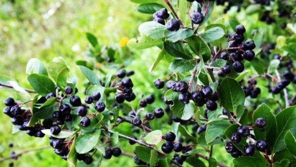 Органічне вирощування плодів, ягід та горіхів набуває в Україні популярності фото, ілюстрація