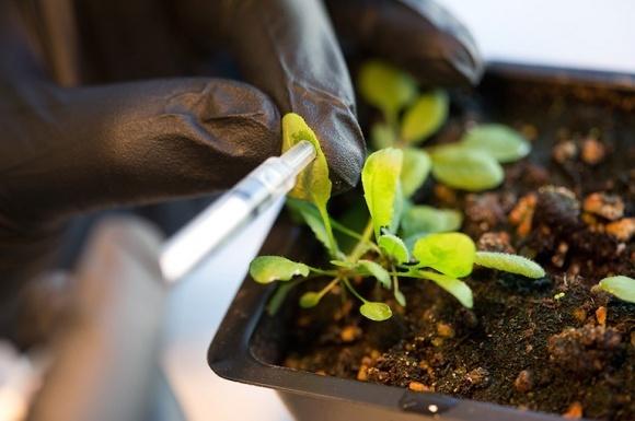 ВРУ хоче запровадити мораторій на вирощування ГМ-рослин? фото, ілюстрація