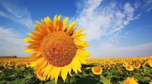 Аграрії Сумщини розпочали сівбу цукрових буряків, соняшнику та кукурудзи фото, ілюстрація
