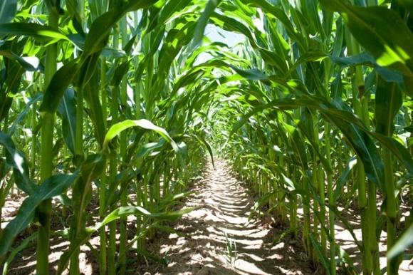 Агролайфхак: живлення та система захисту кукурудзи фото, ілюстрація