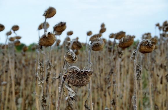 Посіви соняшнику у центральних і південних регіонах потерпають від посухи фото, ілюстрація