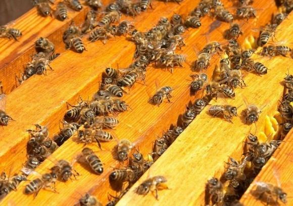 Через підгодовування цукровим сиропом гинуть бджоли? фото, ілюстрація