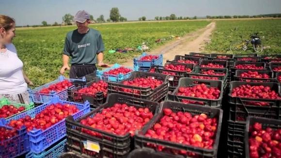 Через брак робочих рук велика частина врожаю ягід у Польщі може залишитися на плантаціях фото, ілюстрація