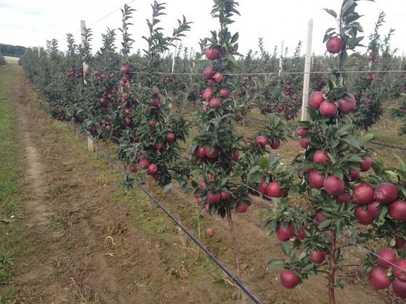 У Польщі прогнозують дефіцит яблук фото, ілюстрація