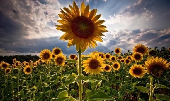 Замість ячменю та сої аграрії можуть засіяти поля кукурудзою та соняшником  фото, ілюстрація