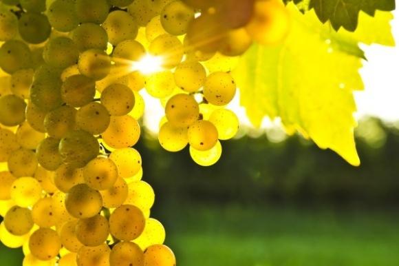 Агролайфхак: як вберегти виноград від мільді та оїдіуму фото, ілюстрація