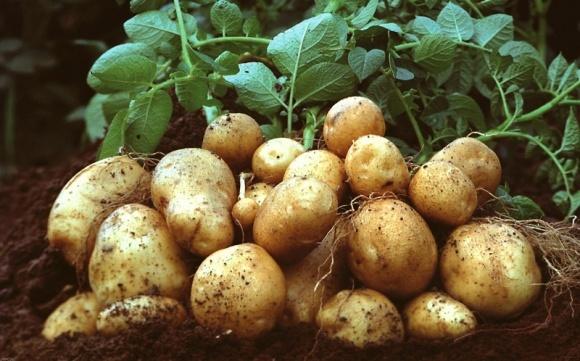 Картопля в Україні за рік стала дешевшою на третину фото, ілюстрація