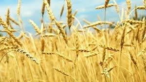 Українські аграрії отримали доступ до новітнього захисту зернових колосових культур фото, ілюстрація
