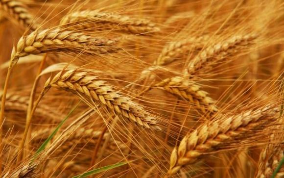 Внутрішні ціни на жито зросли та стабілізувалися на рівні 142-150  $/т фото, ілюстрація