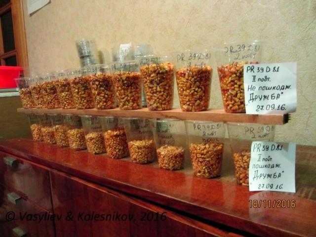 Зерно из поврежденных и неповрежденных растений кукурузы